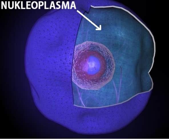 nukleoplasma