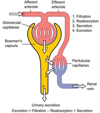 Diagram menunjukkan mekanisme fisiologis dasar dari ginjal