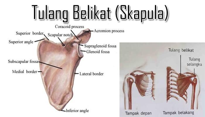 gambar-tulang-belikat