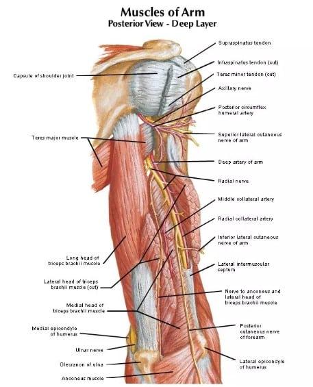 otot pada tulang lengan atas