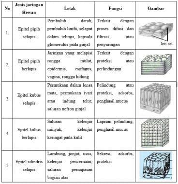 Jaringan Pada Hewan - Letak & Fungsi, Struktur, Ciri, Gambar