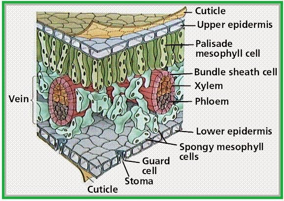 gambar jaringan epidermis