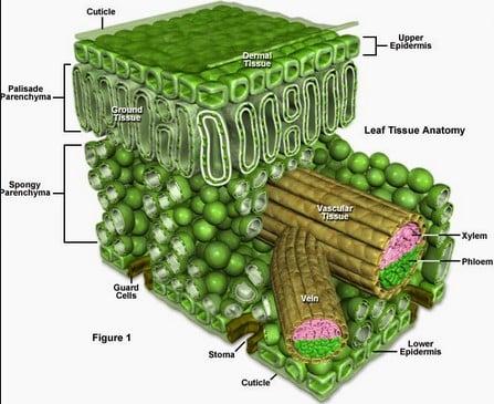 gambar jaringan tumbuhan